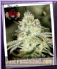 Sin City Night Fire O.G. Feminized 7 Cannabis Seeds